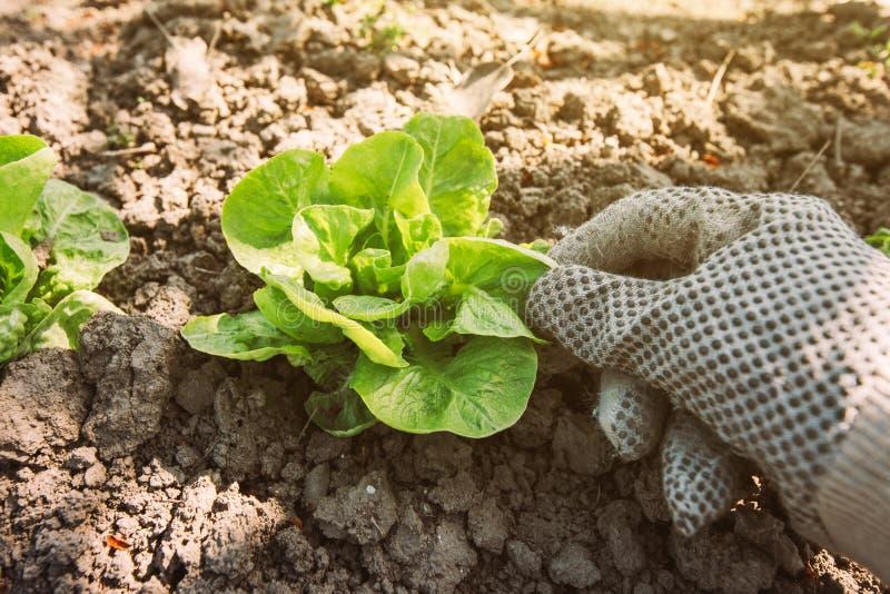 Tuinman en sla het groene hoofd van de saladegroente in tuin stock fotografie