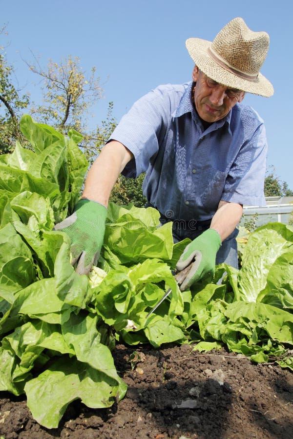 Download Tuinman het oogsten sla stock foto. Afbeelding bestaande uit farming - 39111386