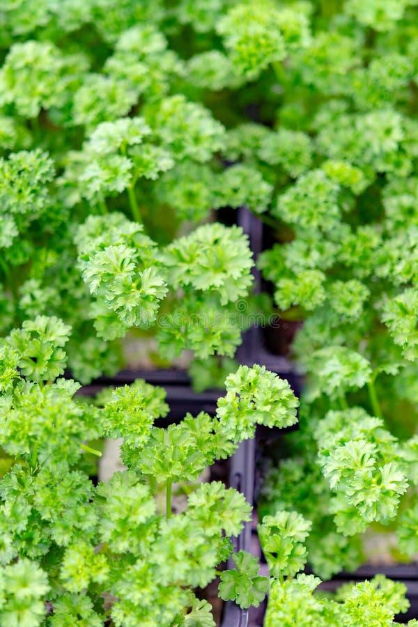 Tuinzaailingen in lentetijd, jonge spruiten van peterselie aromatisch kruid stock afbeelding