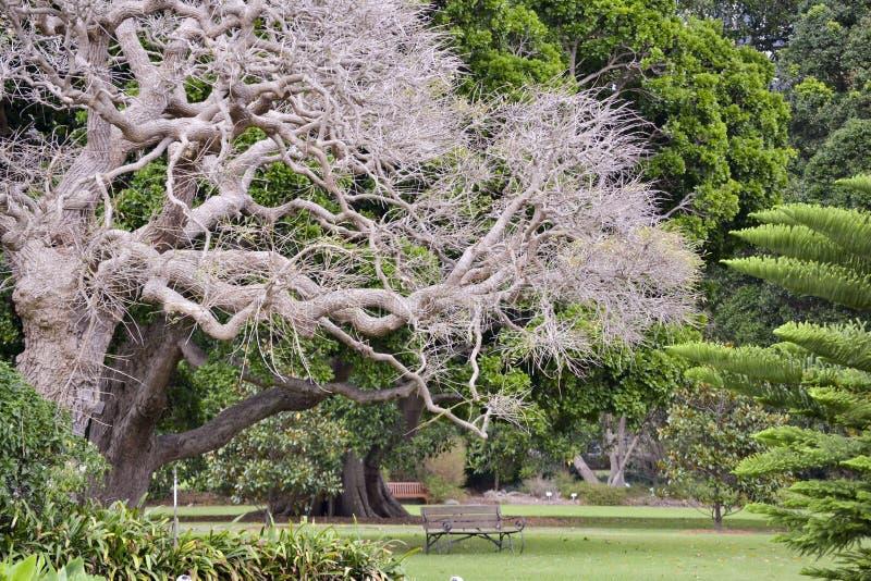 Tuinzetel onder mooie Aziatische gebeeldhouwde boom, Sydney Botannical Gardens Nieuw Zuid-Wales, Australië royalty-vrije stock fotografie