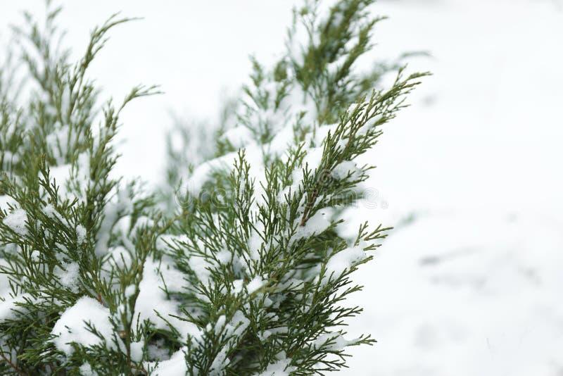 Tuj gałąź zakrywać z świeżym śniegiem fotografia stock