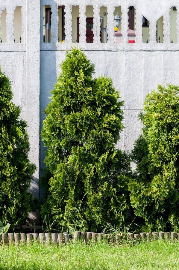 Tuje drzewne zdjęcia royalty free