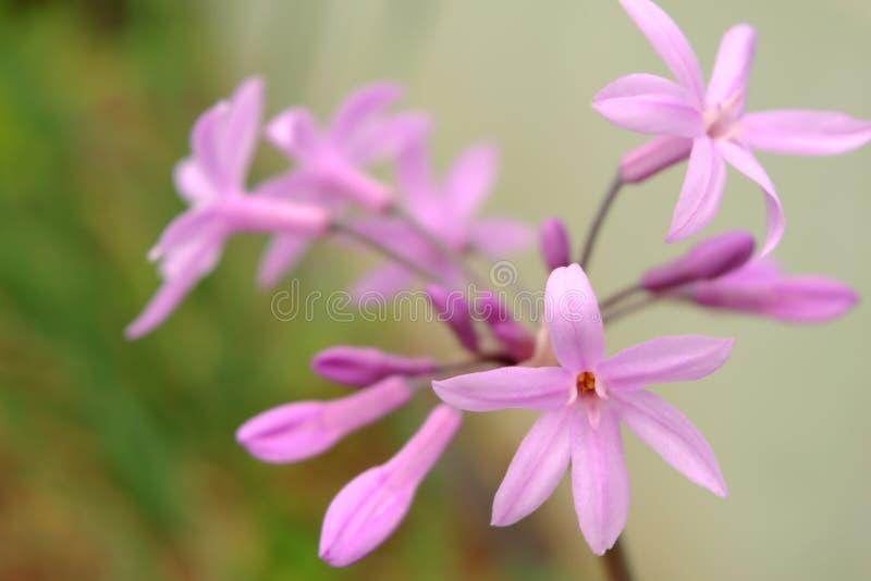 Tulbaghia-violacea, Gesellschaftsknoblauch oder rosa Agapanthus stockfotos