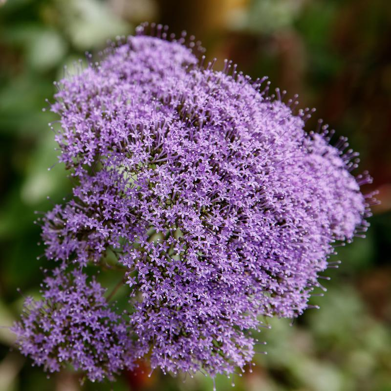 Tulbaghia violacea mali purpurowi kwiaty zamknięci w górę fotografia stock