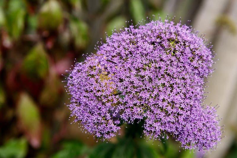 Tulbaghia violacea mali purpurowi kwiaty zamknięci w górę obraz royalty free