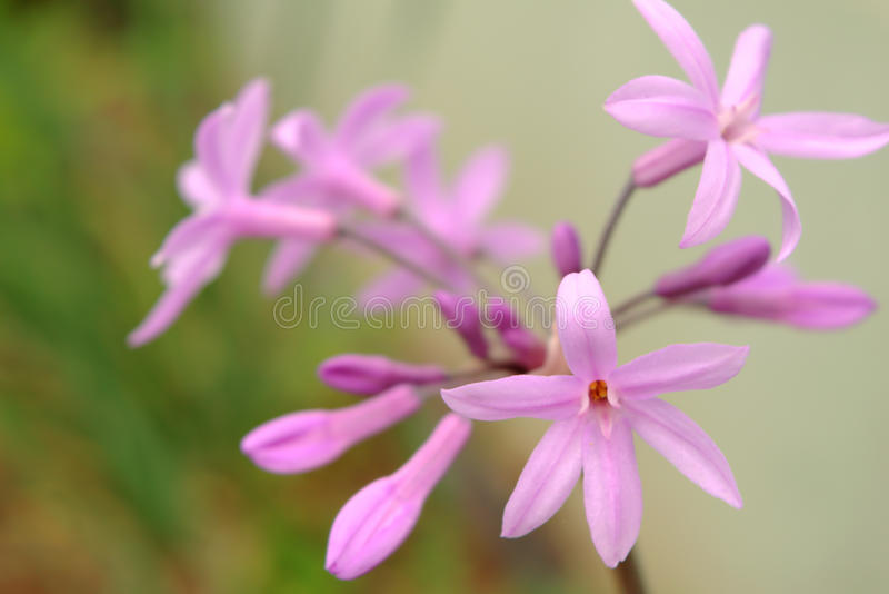 Tulbaghia violacea, society garlic or pink agapanthus. A close up photo of Tulbaghia violacea, a perennial herb with fragrant pink-purple flowers in large umbels stock photos