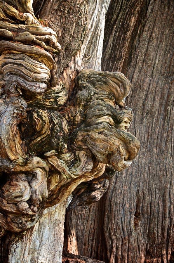Tule Baum in EL Tule, Mexiko lizenzfreies stockfoto