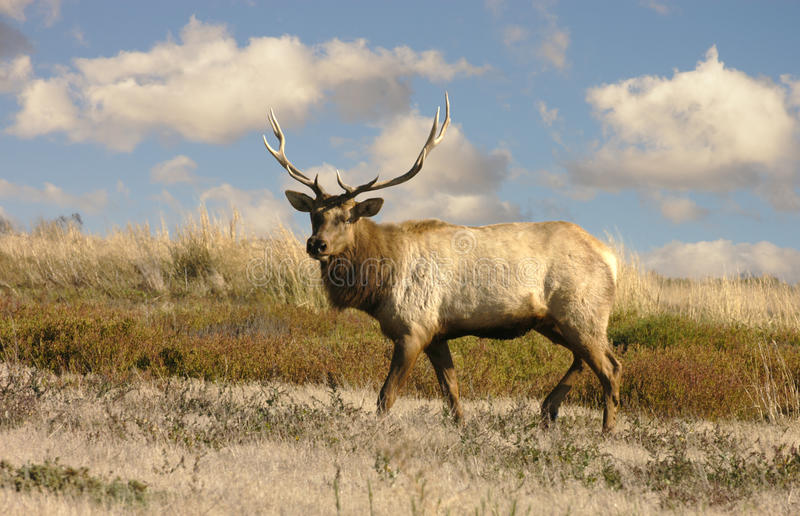 Tule Elk. A native of the marsh lands in California royalty free stock photo