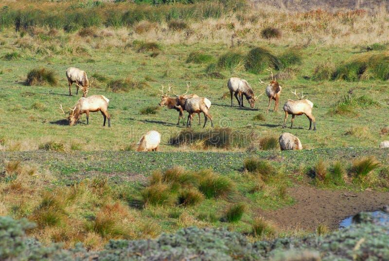 Tule Elk royalty free stock photography