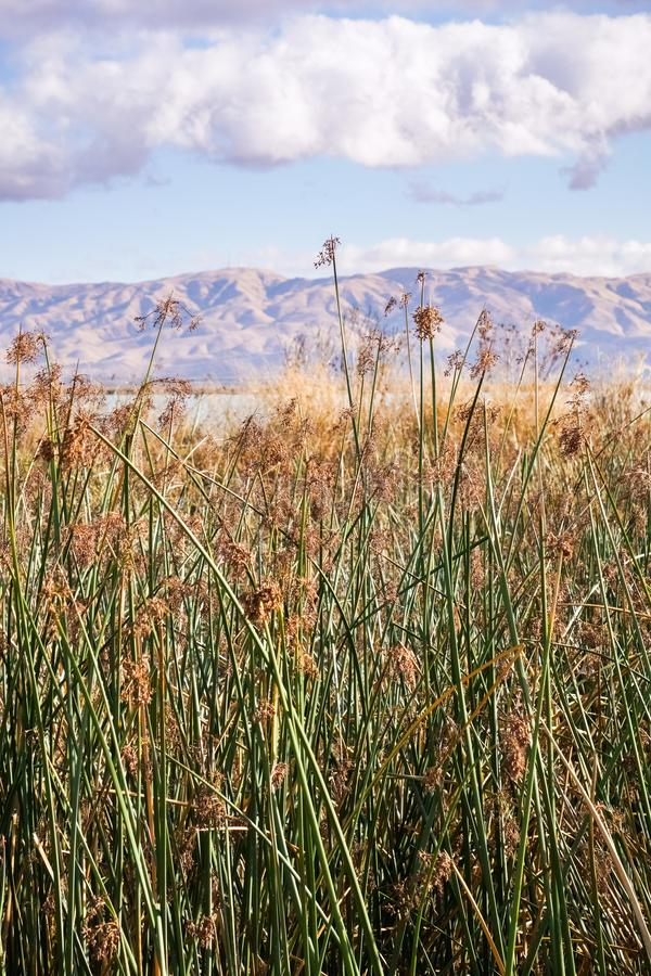 Tule reeds in the marshes of south San Francisco bay, Sunnyvale, California royalty free stock photography