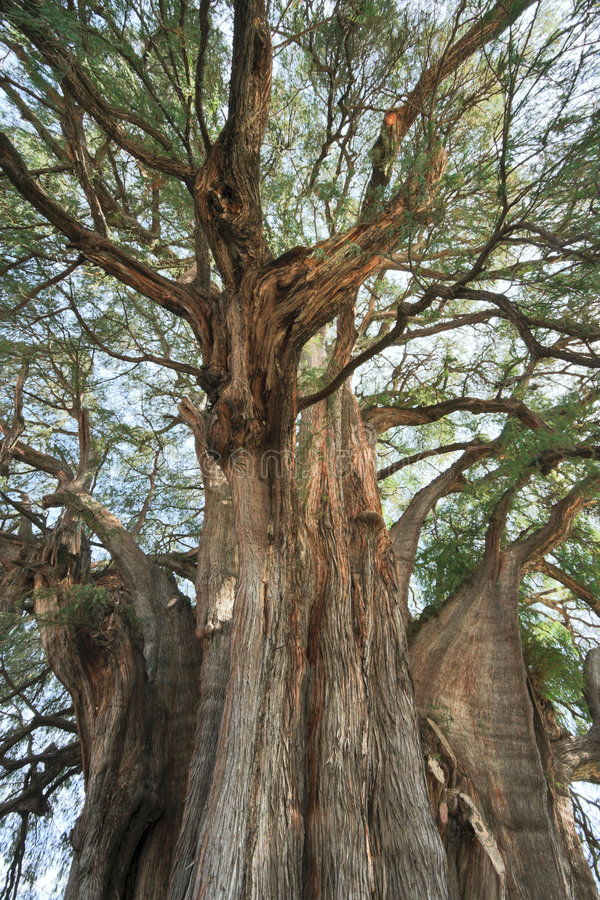 Download Tule tree in Mexico stock photo. Image of mexican, trunk - 8000224