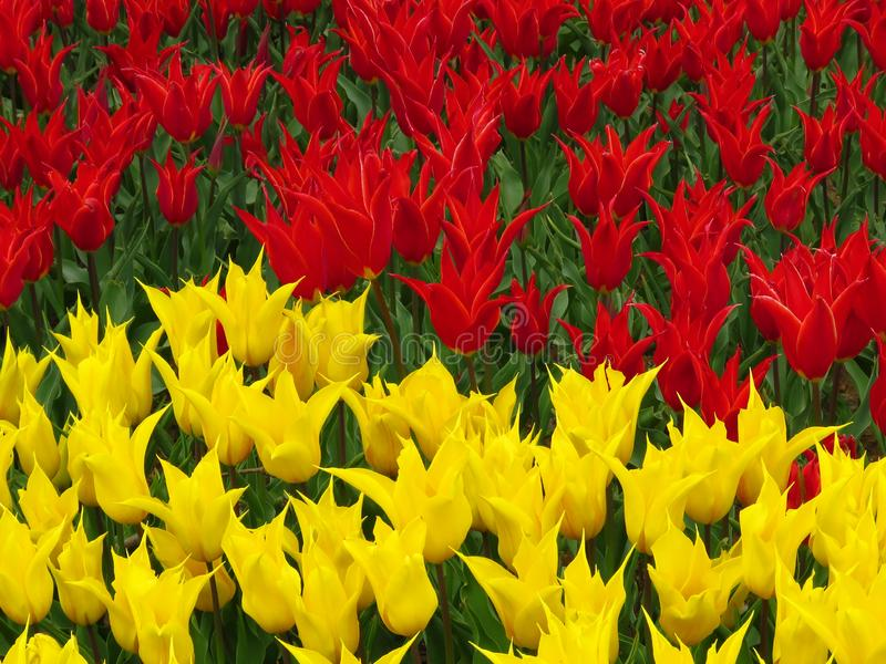 Tulip?n ?Aladdin ?, tulip?n lirio-florecido, flores cubilete-formadas con los p?talos acentuados Mucha floraci?n roja y amarilla  fotografía de archivo libre de regalías