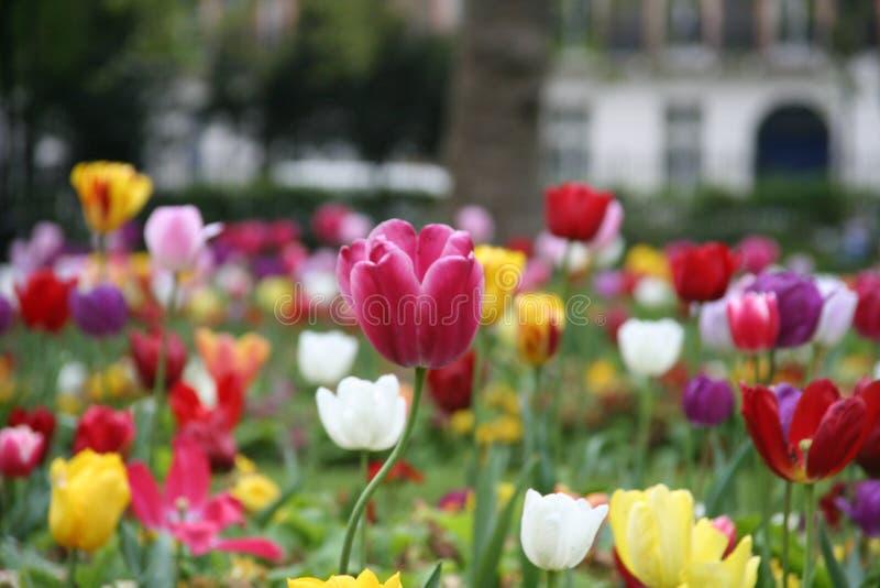 Tulipán 3 foto de archivo libre de regalías