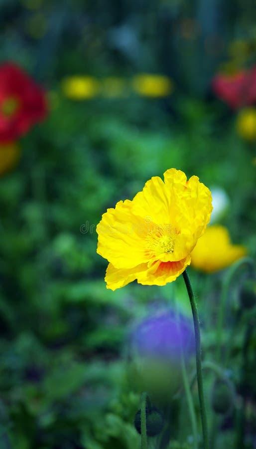 Tulipán imagen de archivo