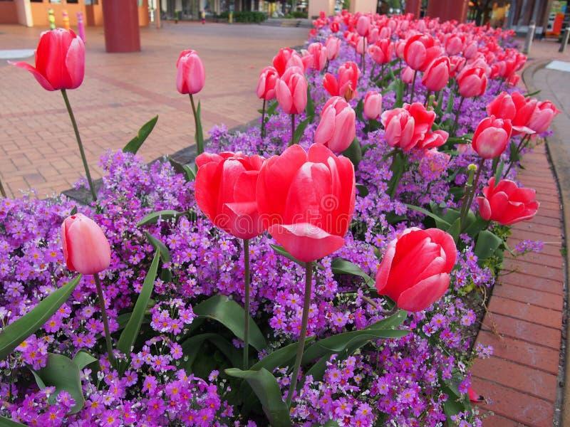 Tulipán fotos de archivo