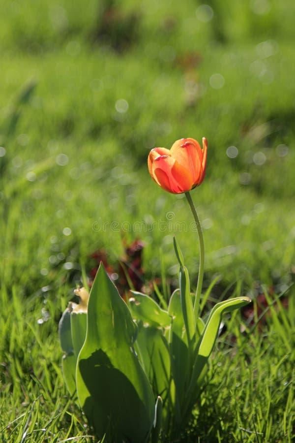 Tulipán fotografía de archivo