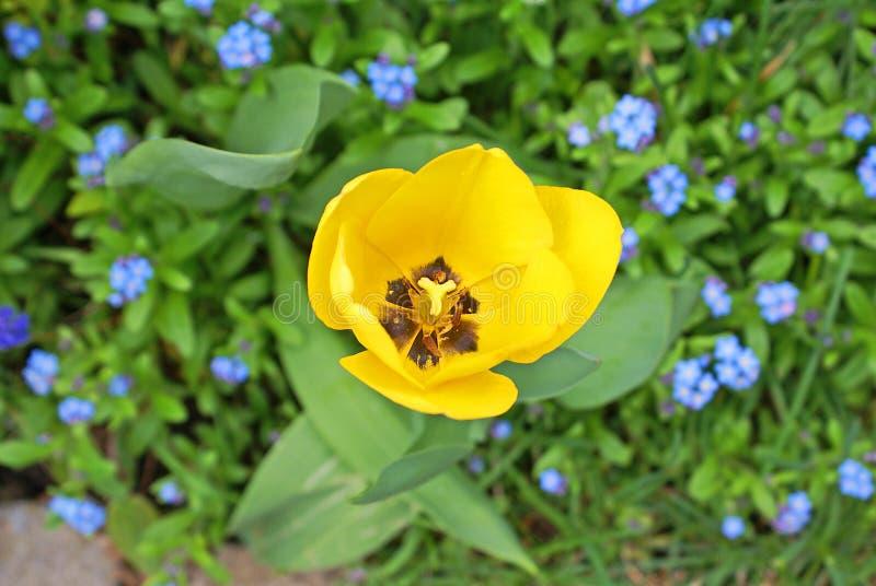Tulipán abierto del amarillo fresco desde arriba con nomeolvides azules fotos de archivo
