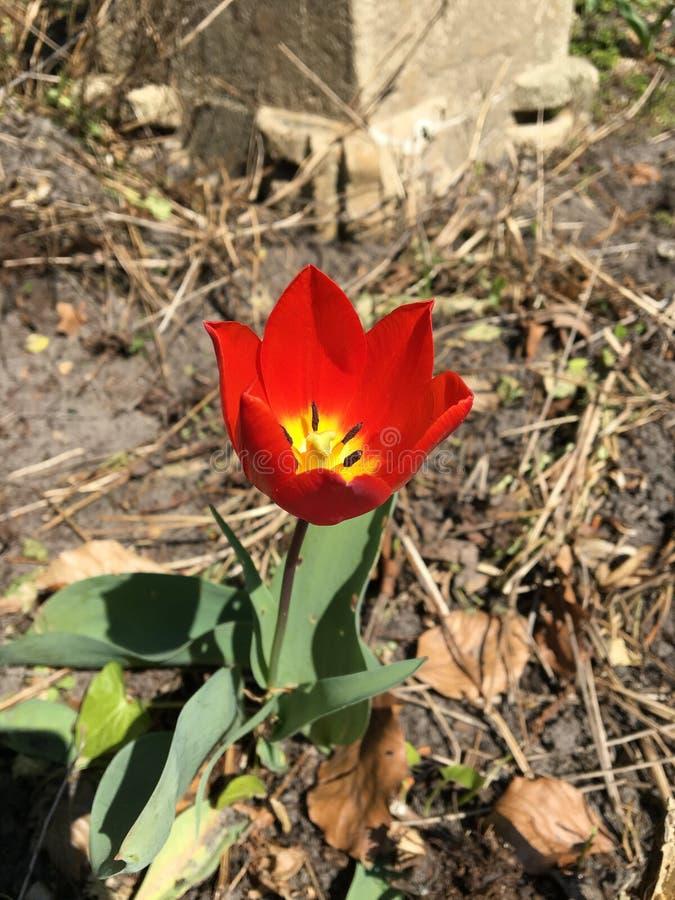 Tulipán agradable en un jardín muerto imágenes de archivo libres de regalías