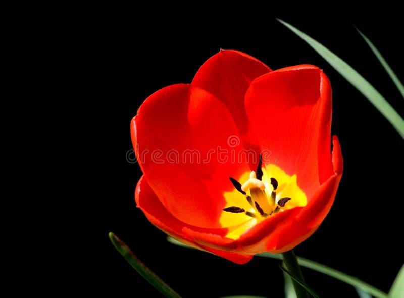 Tulipán aislado en negro fotografía de archivo libre de regalías