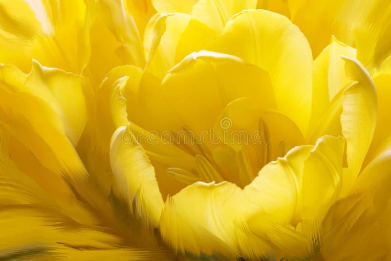 Tulipán amarillo acurrucado imagen de archivo