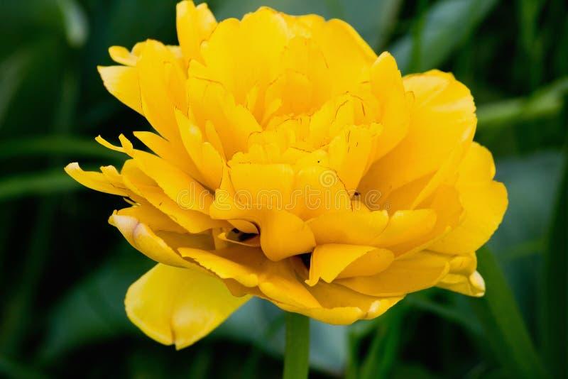 Tulipán amarillo de Terry foto de archivo libre de regalías