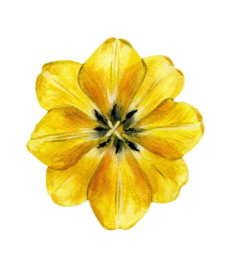 Tulipán amarillo Flor del jardín de la primavera stock de ilustración