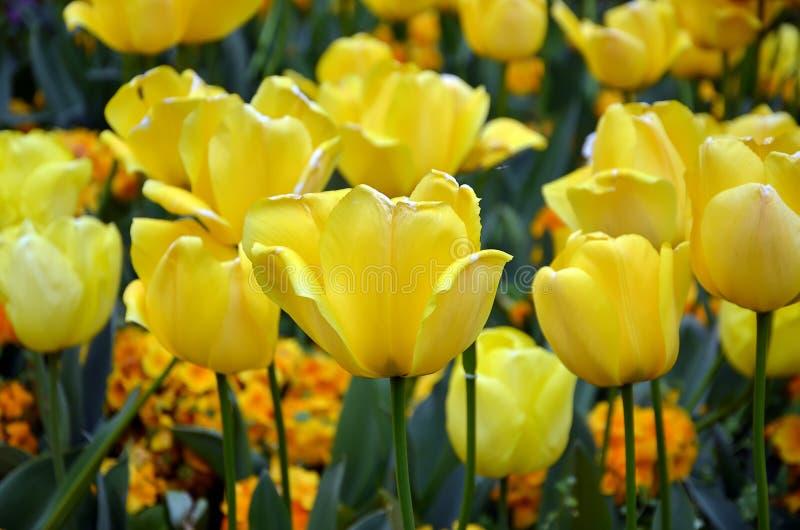 Tulipán amarillo floreciente de la fotografía en primavera fotos de archivo
