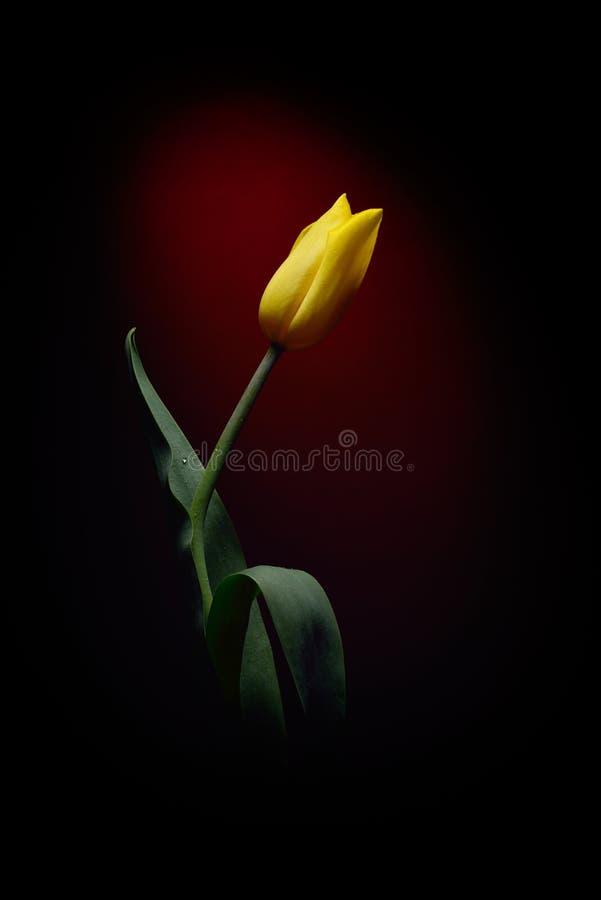 Tulipán amarillo fresco aislado fotografía de archivo