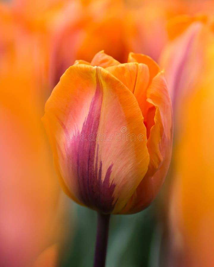 Tulip?n anaranjado contra el campo enfocado suave de tulipanes fotos de archivo libres de regalías