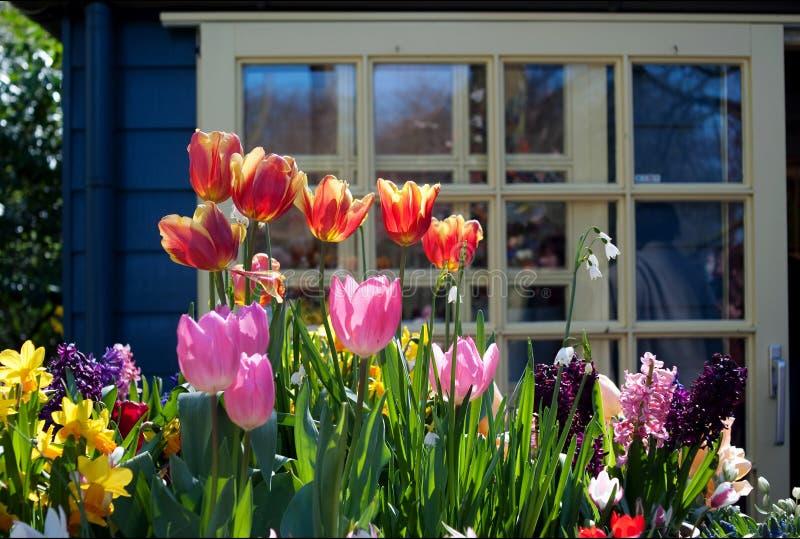 Tulipán asoleado fotografía de archivo