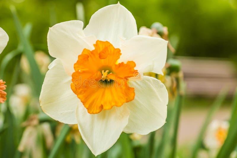 tulipán Blanco-anaranjado en el jardín foto de archivo