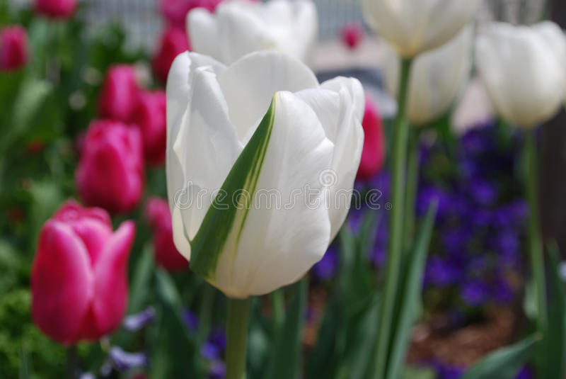Tulipán blanco con una raya verde en un jardín fotografía de archivo
