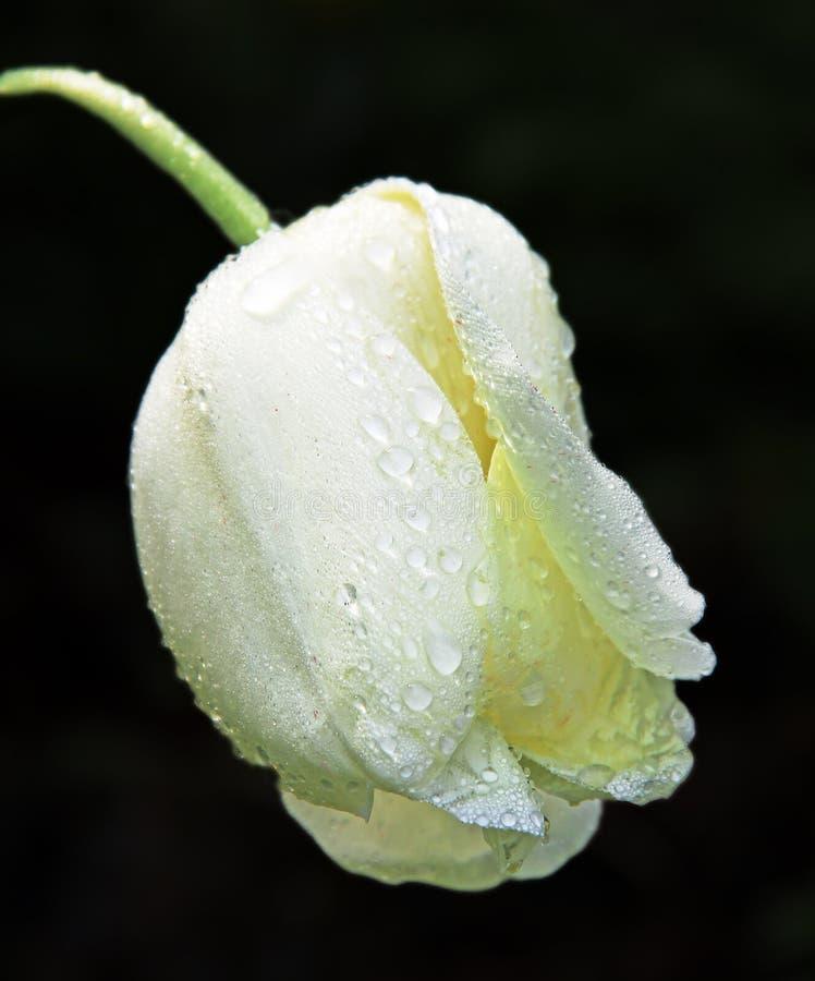Tulipán blanco - flor de luto fotos de archivo libres de regalías