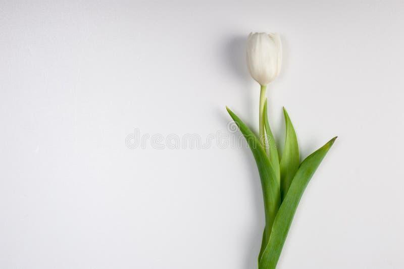 Tulipán blanco hermoso de la primavera de pascua aislado fotografía de archivo