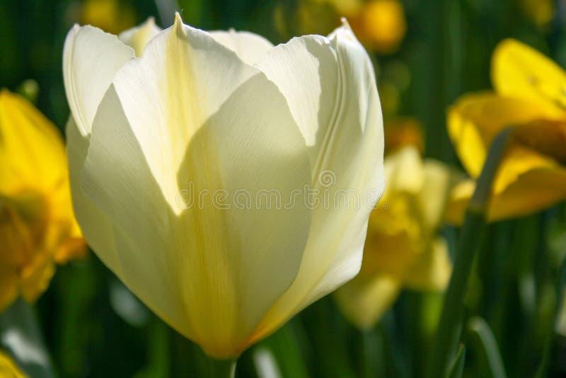 Tulipán blanco hermoso foto de archivo