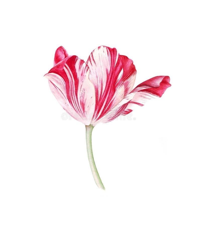 Tulipán blanco rojo de la acuarela en el fondo blanco libre illustration