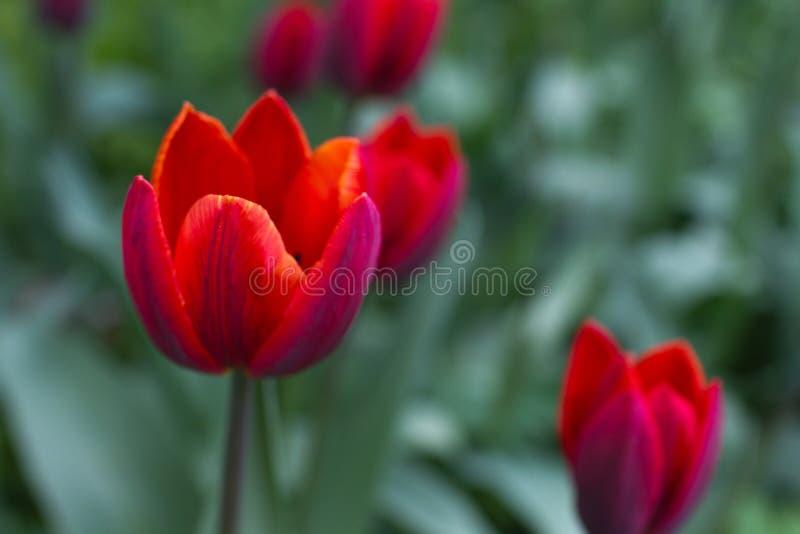 Tulipán carmesí aislado fotografía de archivo