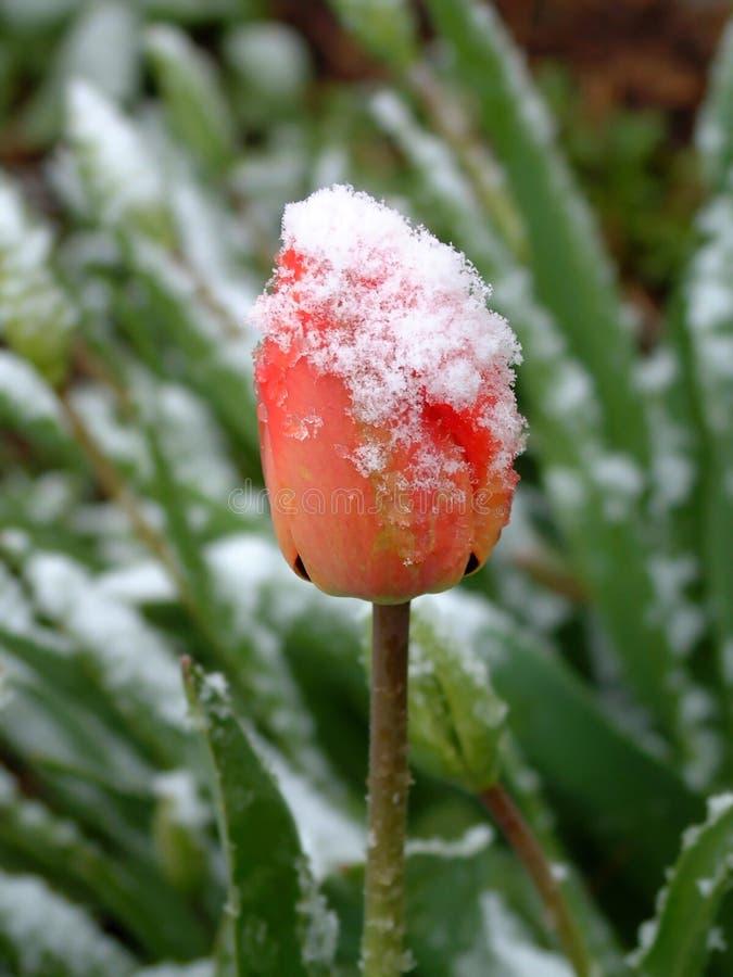 Tulipán con nieve imagenes de archivo
