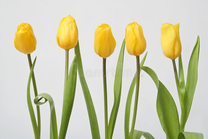 Tulipán de la fila imagen de archivo libre de regalías