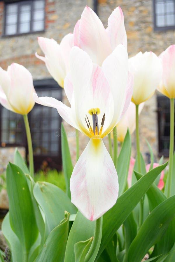 Tulipán de la flor de la primavera imágenes de archivo libres de regalías