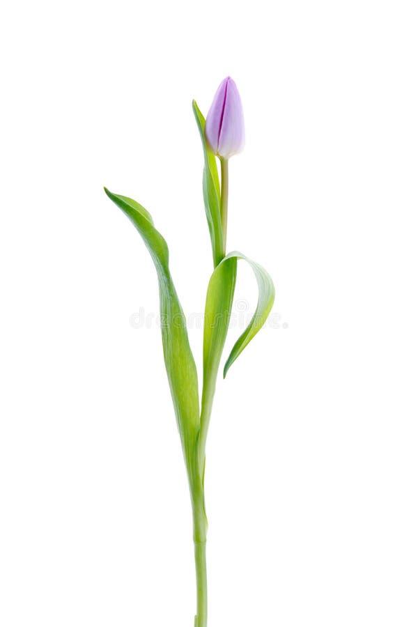 Tulipán de la lila foto de archivo