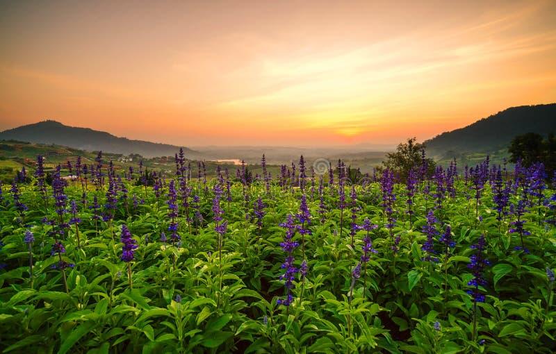 Tulipán de las flores de convertido púrpura y el paisaje hermoso fotografía de archivo libre de regalías