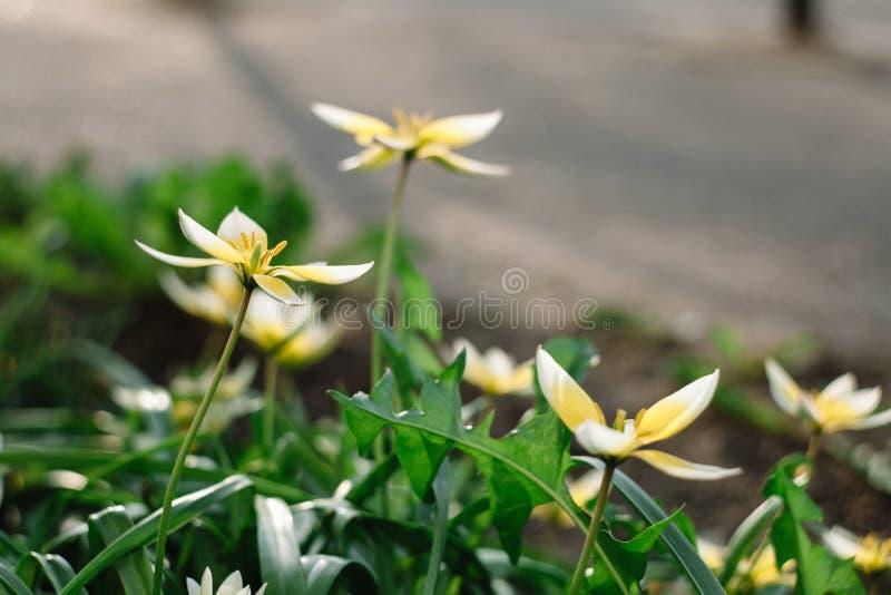 Tulipán de Tarda del Tulipa último con la inflorescencia de flores amarillas en la plena floración que crece en un jardín botánic fotos de archivo