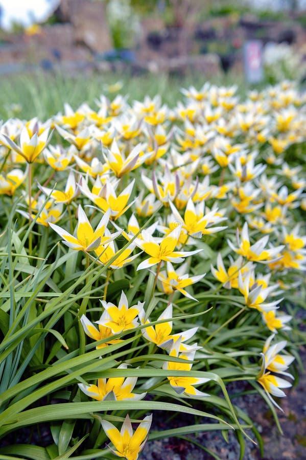 Tulipán de Tarda del Tulipa último o tulipán del tarda con la inflorescencia de flores amarillas en la plena floración foto de archivo libre de regalías