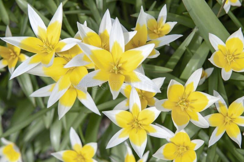 Tulipán de Tarda del Tulipa último o tulipán del tarda con la inflorescencia de flores amarillas en la plena floración imagen de archivo libre de regalías