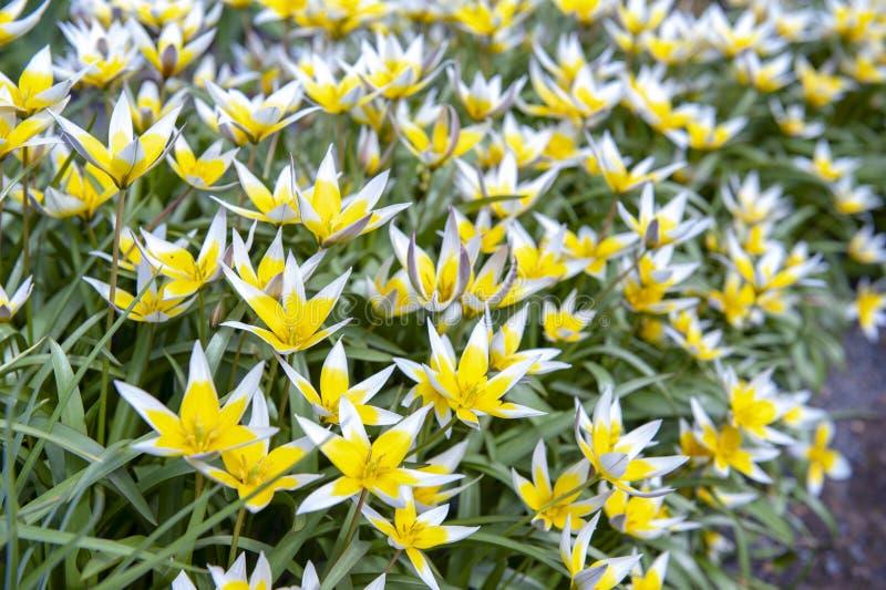 Tulipán de Tarda del Tulipa último o tulipán del tarda con la inflorescencia de flores amarillas en la plena floración foto de archivo