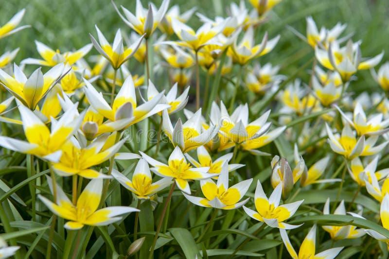 Tulipán de Tarda del Tulipa último o tulipán del tarda con la inflorescencia de flores amarillas en la plena floración fotografía de archivo libre de regalías