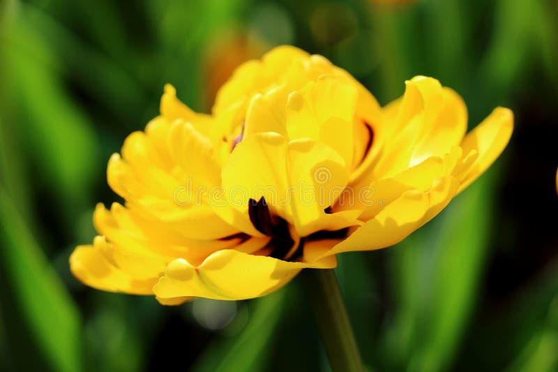 Tulipán del amarillo de Terry imágenes de archivo libres de regalías