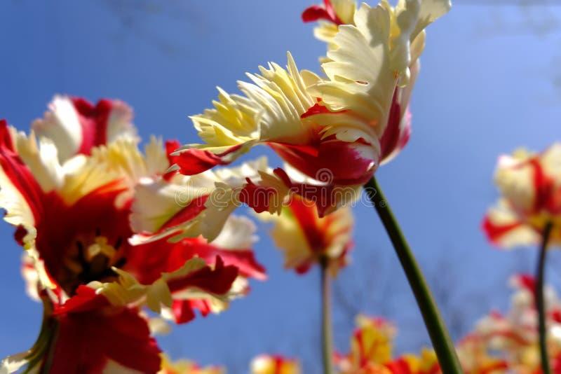 Tulipán del parque del pujiang, Shangai imagen de archivo