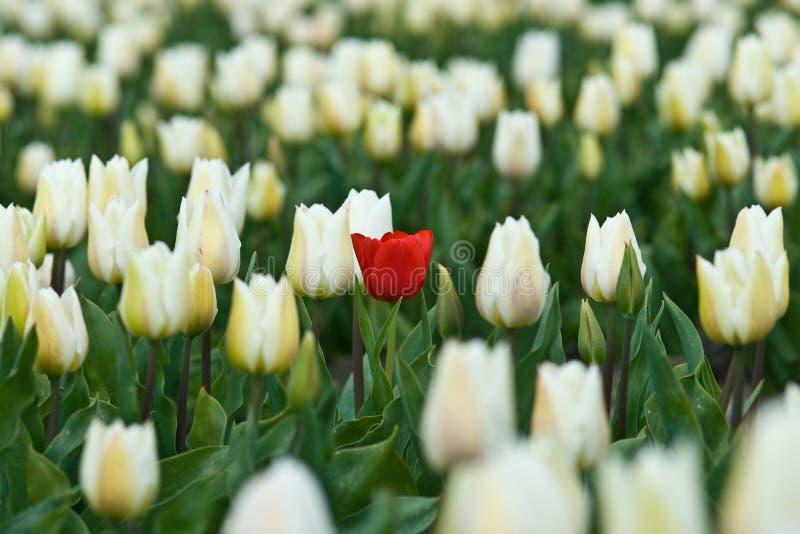 Tulipán del rojo de Loneley imágenes de archivo libres de regalías
